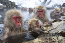 Snow Monkeys (Japanese Macaque) Sitting In Hot Spring by Wolfgang Kaehler