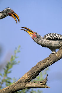 Yellowbilled Hornbills by Wolfgang Kaehler