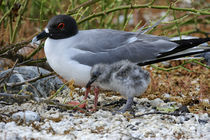 Swallow-Tailed Gull with Chick by Wolfgang Kaehler