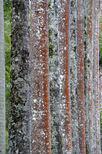 Close-Up of Trunks Covered with Lichens by Wolfgang Kaehler