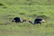 Crowned Cranes Feeding on Grass by Wolfgang Kaehler