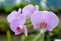Close-Up of Orchids by Wolfgang Kaehler