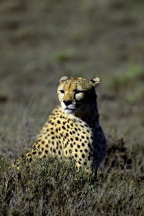 Cheetah Looking for Prey by Wolfgang Kaehler