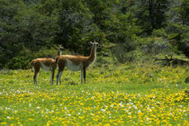 Mother with Yearling In Meadow of Dandelions by Wolfgang Kaehler
