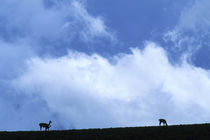Guanacos Silhouetted on Ridge by Wolfgang Kaehler