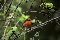 Vermillion Flycatcher by Wolfgang Kaehler