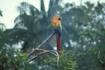Rain Forest Upper Canopy with Macaw von Wolfgang Kaehler