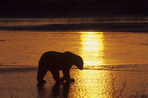 Polar Bear Silhouetted at Sunset von Wolfgang Kaehler
