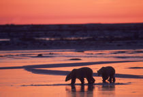 Polar Bears Silhouetted at Sunset von Wolfgang Kaehler