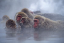 Snow Monkeys In Hot Spring by Wolfgang Kaehler