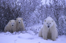 Polar Bear Mother with Cubs (About One Year Old) von Wolfgang Kaehler
