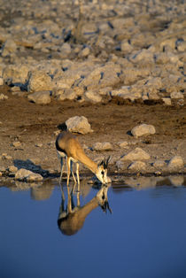 Springbok Reflecting In Waterhole by Wolfgang Kaehler