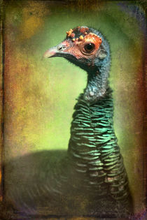 Finer-feathered-friends-occelated-turkey