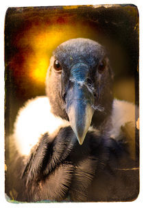 Finer-feathered-friends-andean-condor
