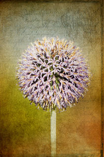 Allium flower  by AD DESIGN Photo + PhotoArt