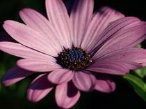 Pink Blush Bloom von billybain