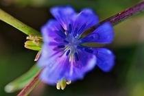 Lilac by Ricardo Alves