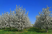 Kirschblüte von Wolfgang Dufner