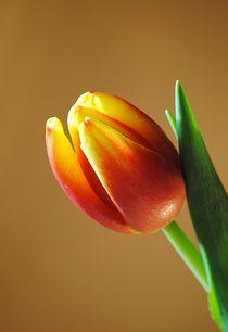 Tulpenblüte von Elke Balzen