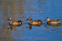 Blue-winged Teal von Louise Heusinkveld