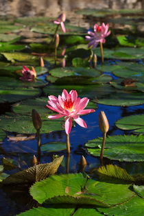 Pink waterlilies by Louise Heusinkveld