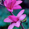 421af-magnolia-apollo-990670-002-v2v28-v-36