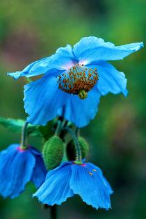 666afauto-blue-poppy-100395-005-v2-v-3-v-15