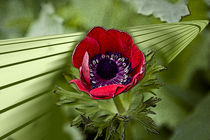 Red flower by corsza