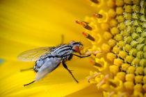 Fliege auf Sonnenblume by Günther Lippl