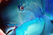 Belize-ambergris-kay-pesce-pappagallo