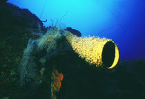 Belize-ambergris-kay-spugna-tubo-aplysina-fistularis