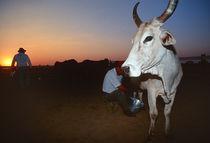 Cows-at-bonito-brasil