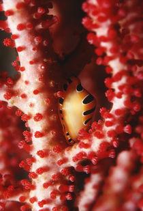Indonesia-alor-island-crenovalva-tigris-su-gorgonia
