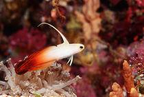 Indonesia-alor-island-fire-goby-nemateleotris-magnifica