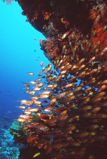 Indonesia-alor-island-pesci-di-vetro-parapriacanthus-guenteri