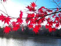 Red Maple over Lake by Rebecca Ledford