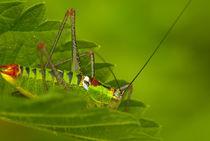 Grasshopper by Deyan Sedlarski