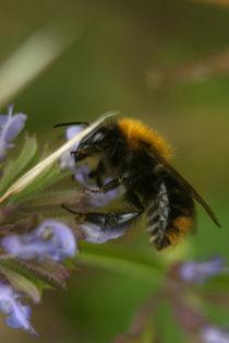 Bee by Deyan Sedlarski