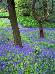 Tree in carpet of bluebells by Mark Lucock