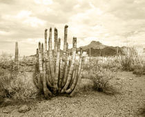 Organ Pipe Cactus - Stenocereus thurberi by Mark Lucock