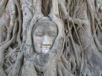 Stone Buddha being strangled by tree roots by Mark Lucock