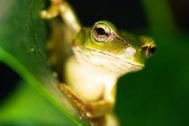 Eastern Dwarf Tree Frog-Litoria fallax by Mark Lucock