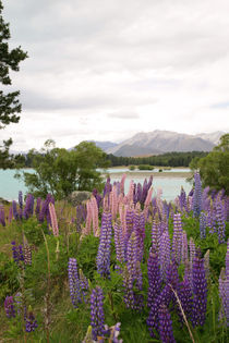 Lupins by Lake Tekapo by Mark Lucock