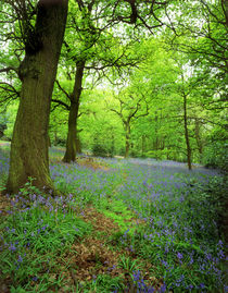 Spring Woodland and carpet of bluebells by Mark Lucock