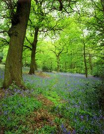 Spring Woodland and carpet of bluebells von Mark Lucock
