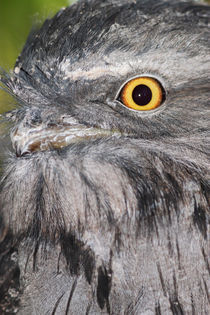 Tawny Frogmouth by Mark Lucock