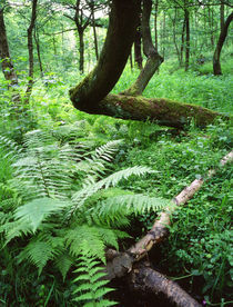 English woodland - Fern and twisted tree by Mark Lucock