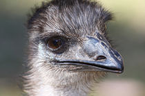 Emu by Mark Lucock