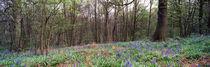 Bluebells in a Spring wood von Mark Lucock