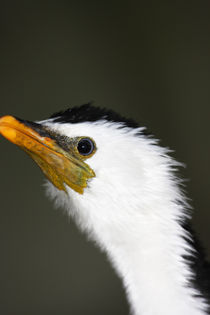 Little Pied Cormorant by Mark Lucock